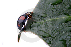 Closeup of Ladybird on leaf