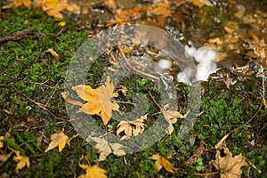 A beautiful abstract photo of dry yellowish maple leaf falling onto the ground near a small stream.