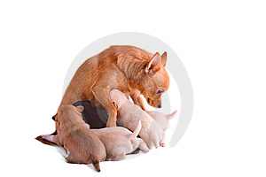 Chihuahua mom is suckling her puppies