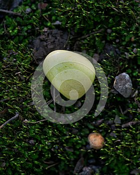 Tumbled yellowish Serpentine stone from Peru on green moss in the forest