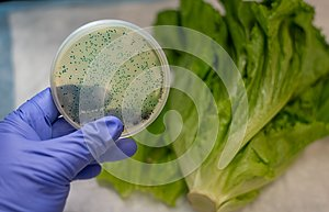 Fresh Romaine lettuce with E coli culture plate