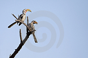 Yellow Billed Hornbills 1