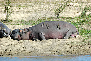 Hippo with redbilled oxpeckers