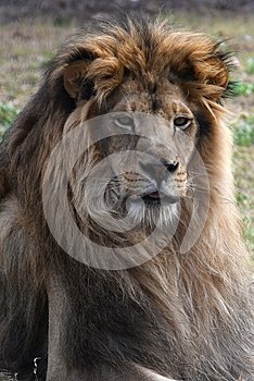 Lion Of Africa.