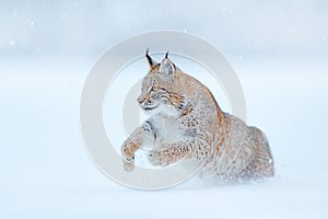 Eurasian Lynx running, wild cat in the forest with snow. Wildlife scene from winter nature. Cute big cat in habitat, cold