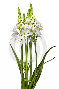 Floral Chincherinchee Flower Isolated