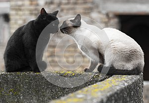 Siamese cat and black cat