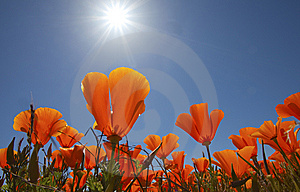 Orange poppies with sun