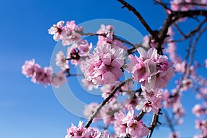 Spring blossom background. Beautiful nature scene with blooming tree on sunny day. Spring flowers. Beautiful orchard in Springtime