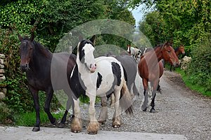 A group of horses going to their stable. Ireland