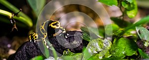 Yellow banded poison dart frog in closeup, tropical and toxic pet from the rainforest of America
