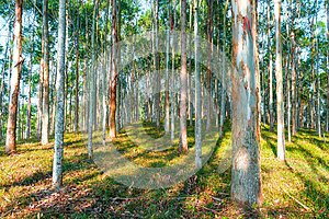 EUCALYPTUS FOREST WITH SATURATED BLUE SKY