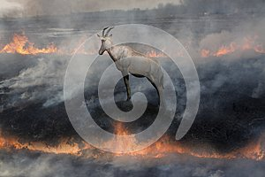Antelope In fire land