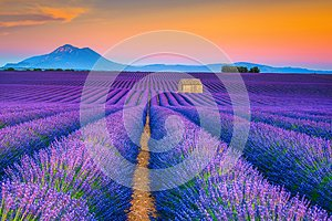 Wonderful summer landscape with lavender fields in Provence, Valensole, France
