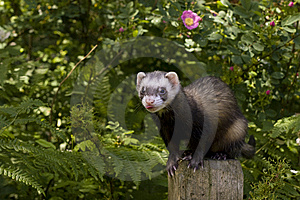 Ferret on a POST