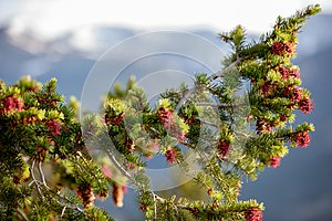 A Beautiful Tree with Red Pinecones on a Summer Day with Blue Sky and White Clouds at Rocky Mountain National Park  in Colorado