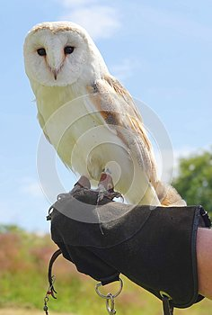 Captive barn owl sitting on hand