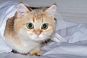 A charming British kitten hunts from under a white sheet, a predator`s instinct for a pet.