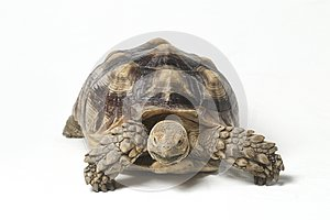 African Spurred Tortoise also know as African Spur Thigh Tortoise - Geochelone sulcata