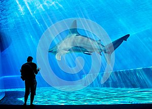 A visitor is looking at a huge shark in his own tank in the local Aquarium - blue environment. Attack, animal.
