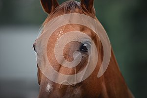 Horse face with beautiful eyes and piercing gaze
