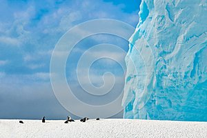 Chinstrap Penguins - Pygoscelis antarctica - on snow covered hill with huge turquoise iceberg in background, Antarctic Peninsula.