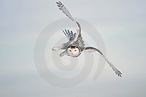 Winter White Sky with Snowy Owl Flight
