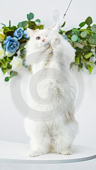 White Ragdoll cat hold and play
