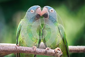 Couple of blue-crowned parrots in love on a branch with a green background