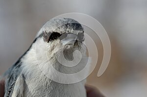 The head of the nuthatch