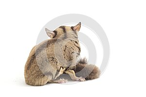 Sugar glider - Petaurus breviceps isolated on white background