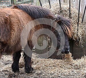 Miniature Pony Eating Hay