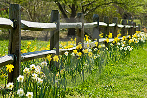 Daffodils growing next to fence
