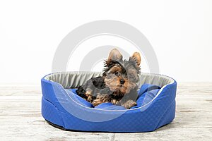 Yorkshire Terrier puppy sleeping in a room on a dog bed. Animals