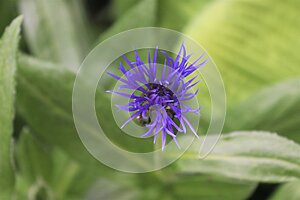 close up of purple flower, purple thistle flower and green leaf