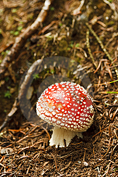 Red and White Poisonous Amanita Mushroom