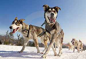 Close up of a sled dog, heading towards the camer
