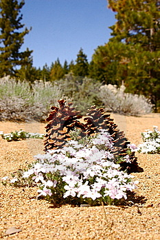 Pine cones and lavender flowers