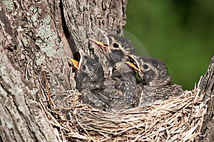 Three young robins cry in with hunger pain