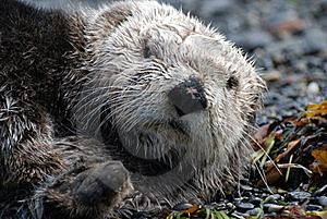 Sea Otter Resting On Land