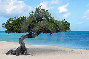 Divi Divi tree on Eagle Beach in Aruba