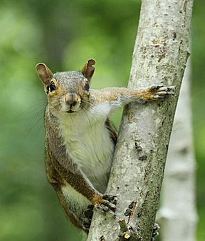 Gray Squirrel on Tree Trunk