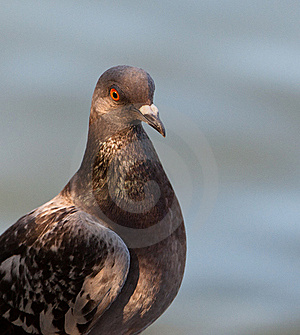 Portrait of a Rock Dove