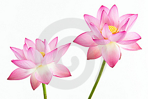 Twain pink water lily flower (lotus) and white bac