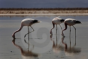 Three flamingos walking with beaks in water