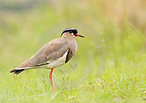 Crowned plover (crowned lapwing)