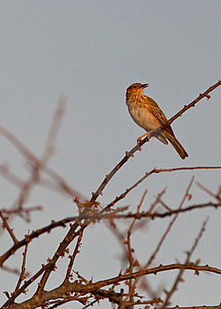 The Long-billed Pipit