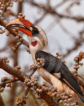 Von der Decken´s Hornbill eating fruits