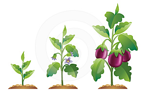 Eggplant growth stages