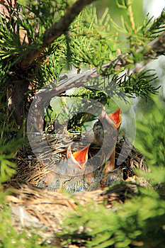 Baby american robins in a nest waiting to be fed.